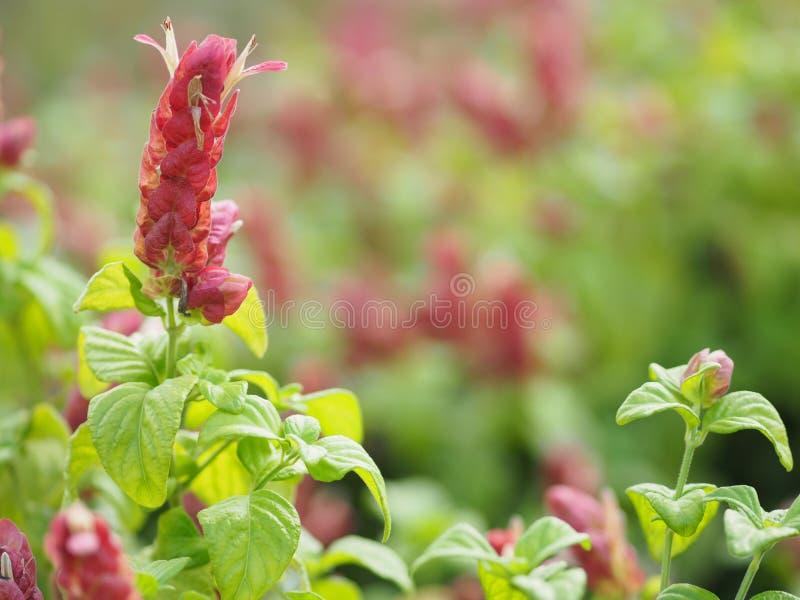 Usine rose rouge de la Reine du Panama de nom de fleur, l'usine orange de crevette, la feuille de Coral Aphelandra Single assorti images stock