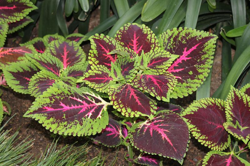 Usine rouge dans le jardin botanique photo stock
