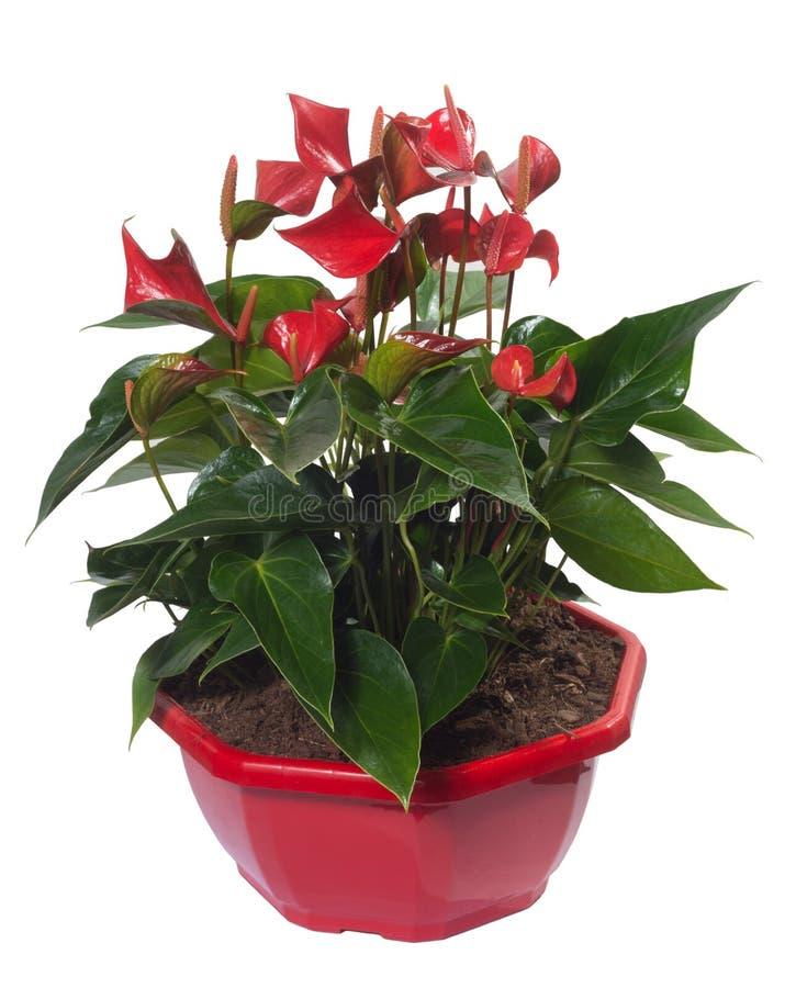 Usine rouge de fleur de Lentini d'anthure sur le pot de fleurs images stock