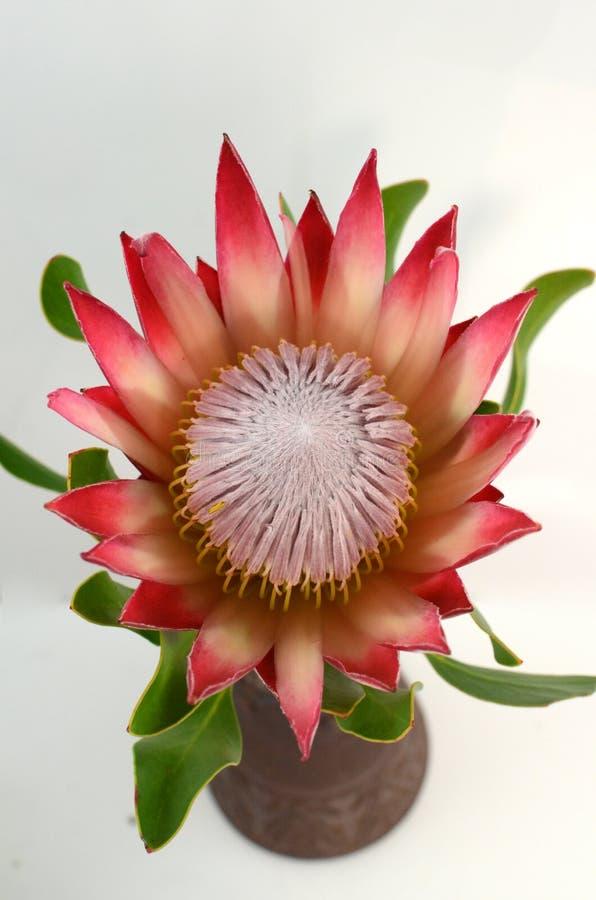 Usine rouge de protea de roi sur le fond blanc photo stock