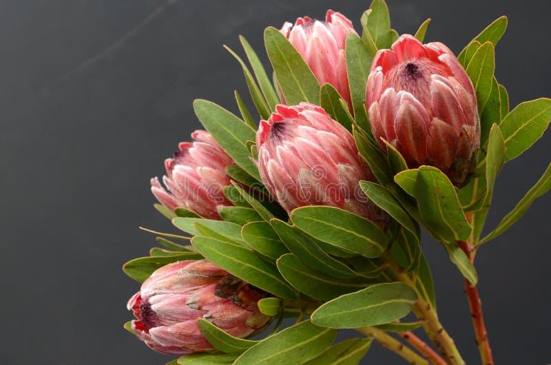 Usine rouge de Protea sur le fond noir image libre de droits