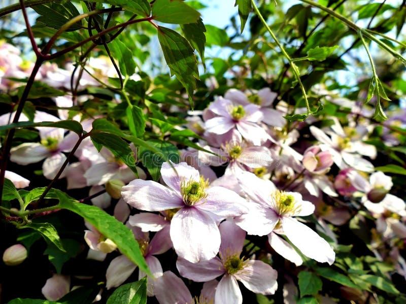Usine s'élevante du Montana de clématite avec beaucoup de fleurs roses photos stock