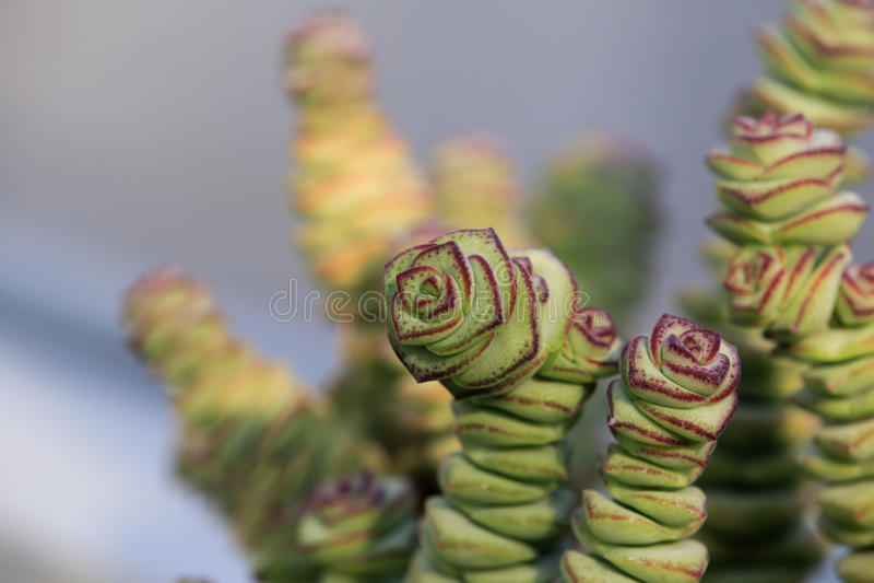 Usine succulente photo stock
