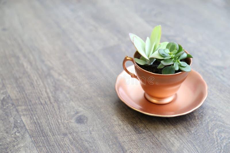 Usine succulente photos stock