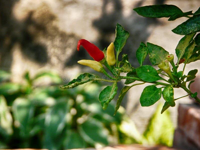 Usine thaïlandaise de piments photo stock
