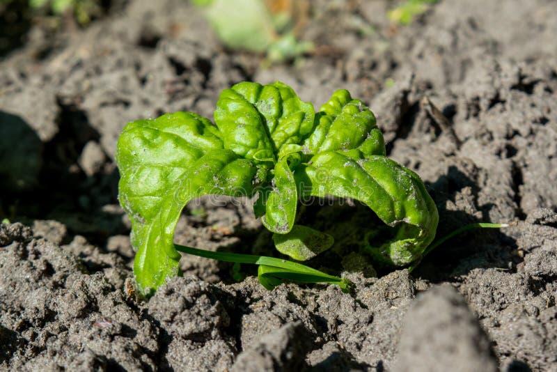 Usine verdoyante verte minuscule de basilic s'élevant dans le jardin photos libres de droits