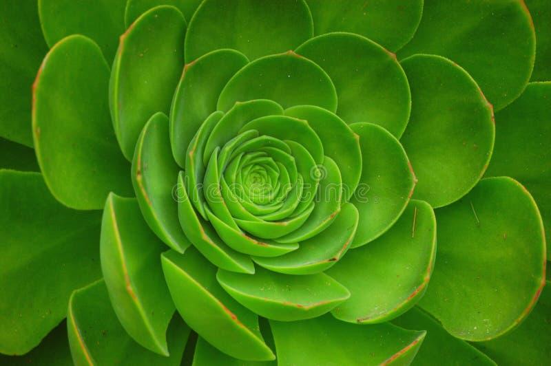 Usine verte d'Arboreum d'Aeonium image libre de droits