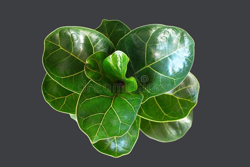 """Usine verte de """"Lyrata de ficus """"de figue de feuille de violon avec de grandes feuilles saines sur le fond noir foncé image libre de droits"""