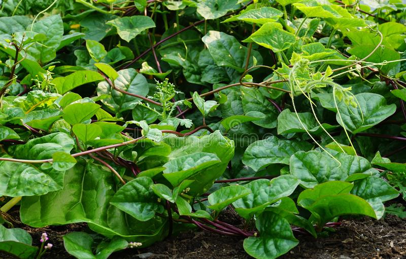 Usine verte fraîche de Cucurbita dans un potager image stock