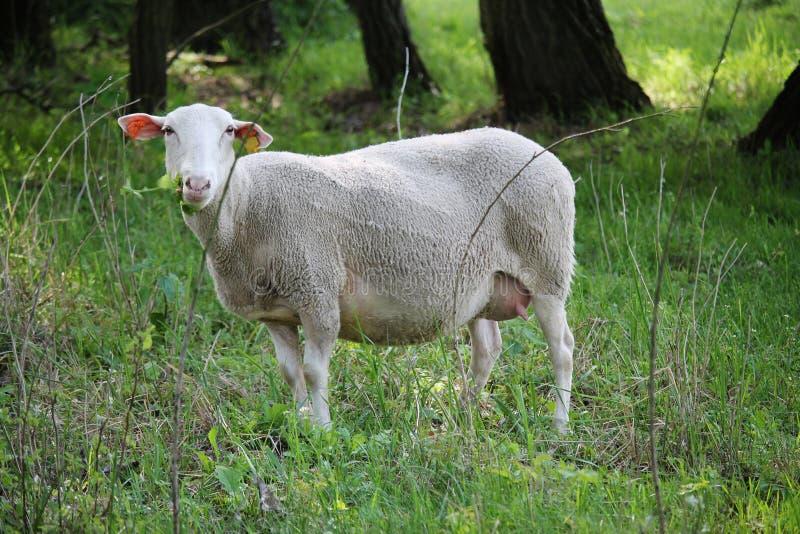 Usines aeting de moutons sur un pré photographie stock