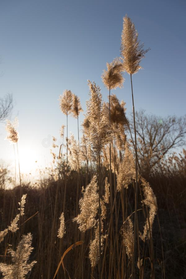 Usines d'herbe des pampas au coucher du soleil avec de belles, chaudes couleurs images libres de droits