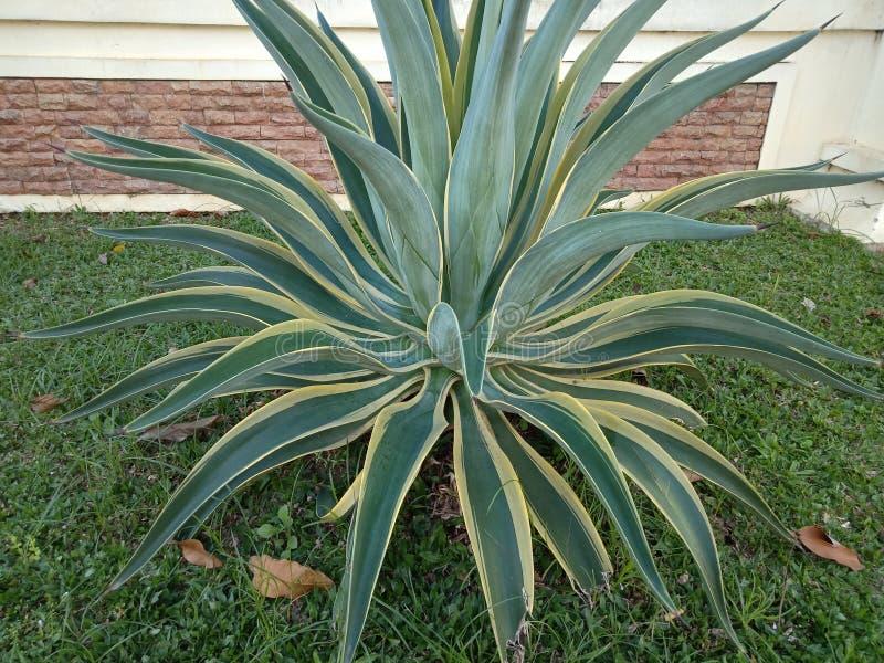 Usines d'un agave qui s'appellent comme tequila ou agave americana, fin d'agave vers le haut de tir dans le jardin avec le jaune  photo libre de droits