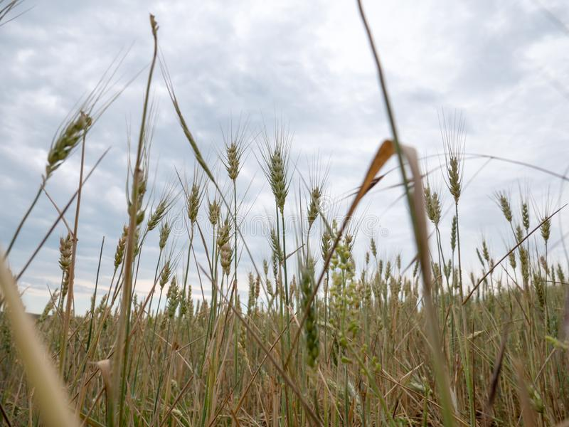 Usines de blé avant temps de récolte sur le champ d'agriculture photo stock