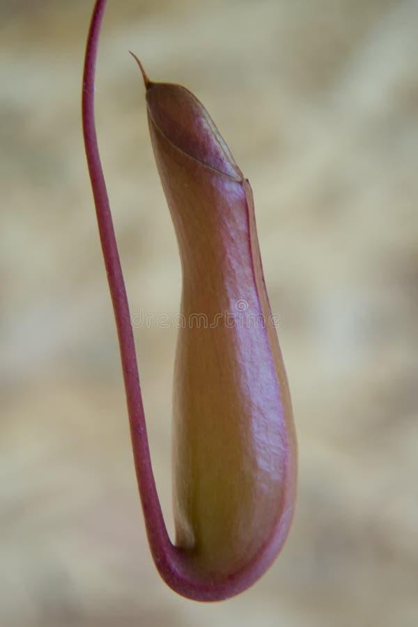 Usines de broc tropical de Nepenthes, fin vers le haut de macro Le genre noeud image stock