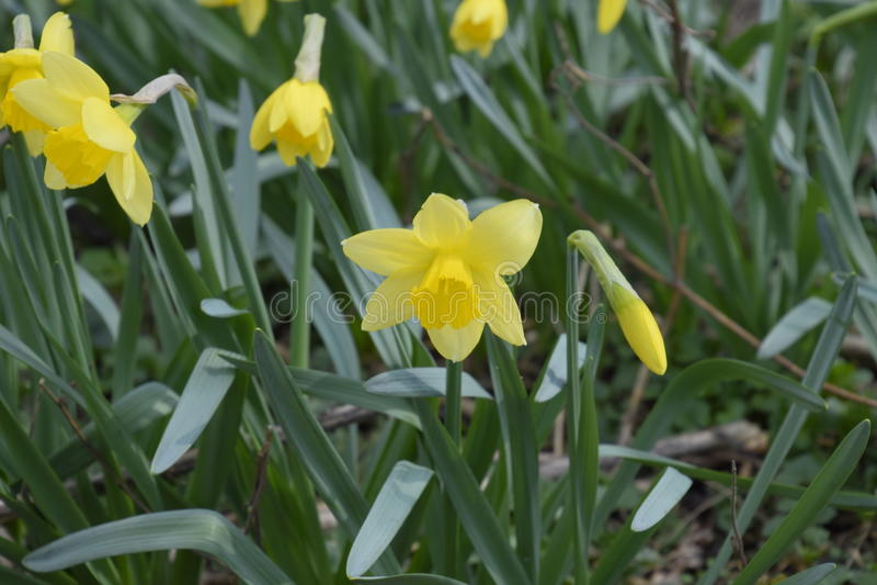 bulbe fleur jaune