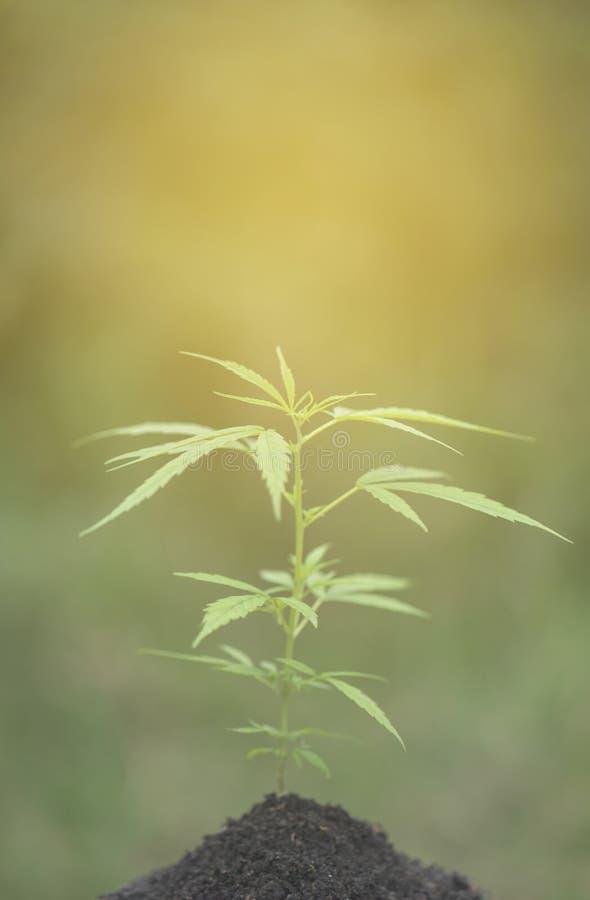 Usines de cannabis dans le terrain photographie stock