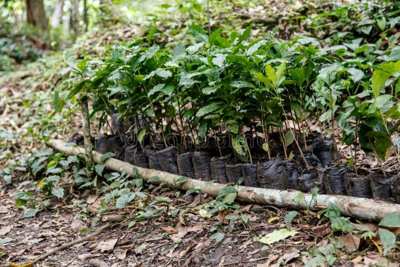 Usines de Coffe d'une plantation image stock
