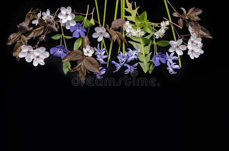 Usines de floraison de bigorneau de ressort, jacinthes, pruneaux de floraison et fleurs de cerisier sur un fond noir photo libre de droits