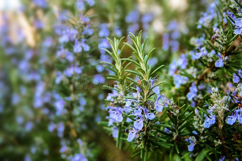 Usines de floraison de romarin dans le jardin d'herbes aromatiques images stock