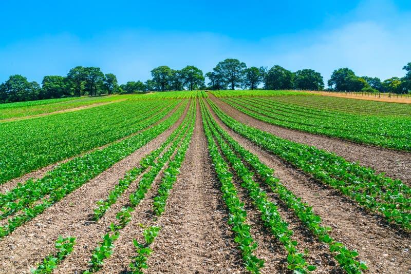 Usines de haricots verts s'élevant sur un champ image stock