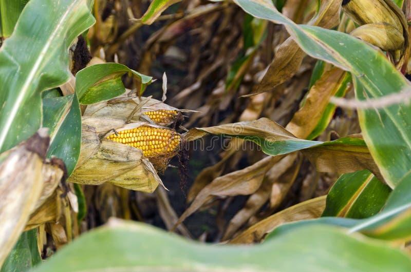 Usines de maïs avec des épis images libres de droits