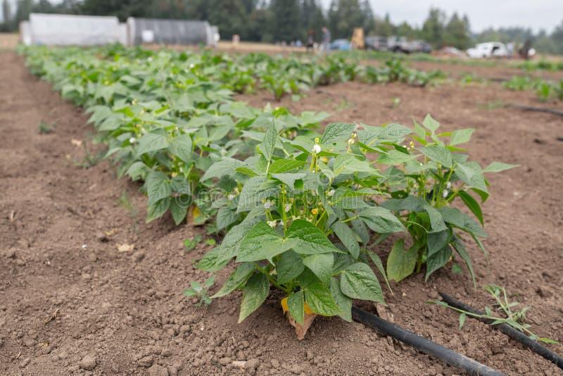 Usines de poivron vert à la ferme images stock