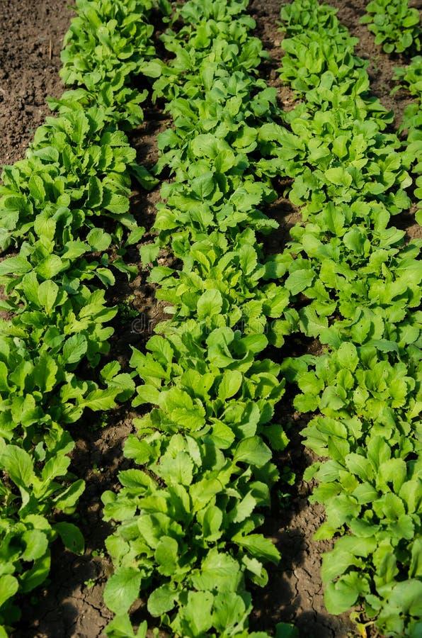 Usines de radis rouges et blanches photo libre de droits