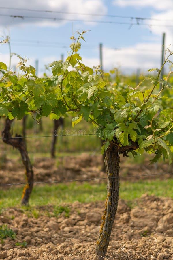 Usines de raisin sans fruit en Allemagne photographie stock libre de droits