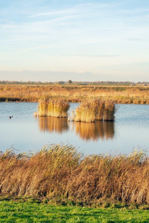Usines de Reed en parc national De Biesbosch image libre de droits