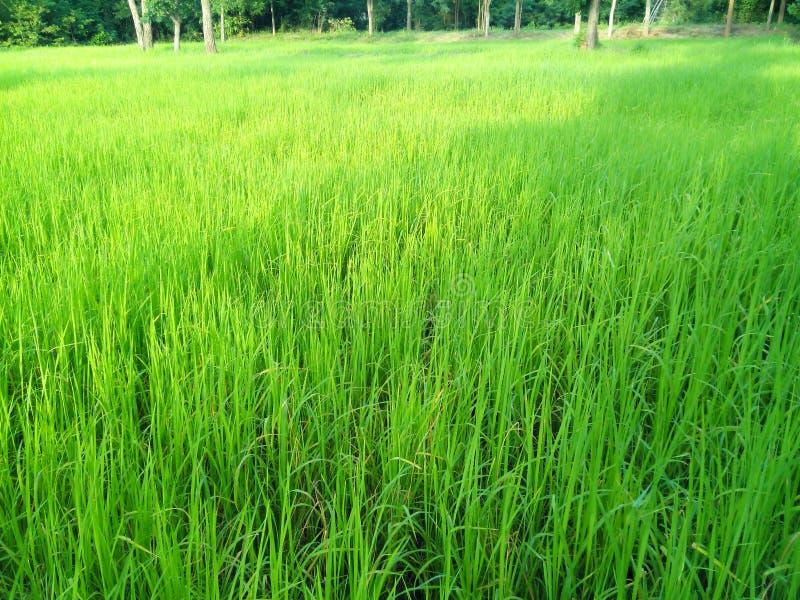 Usines de riz photos libres de droits