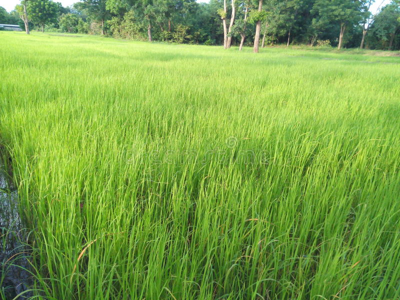 Usines de riz images libres de droits