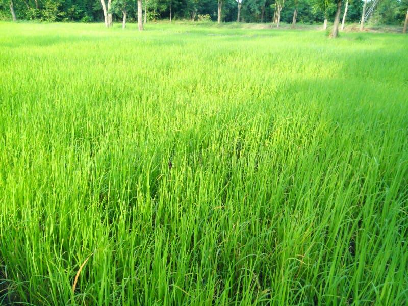 Usines de riz images stock