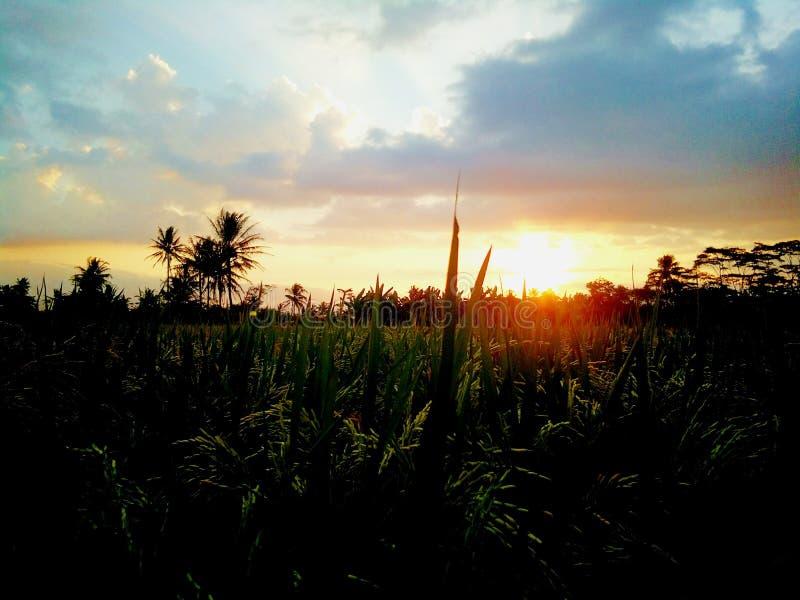 usines de riz pendant l'après-midi image libre de droits