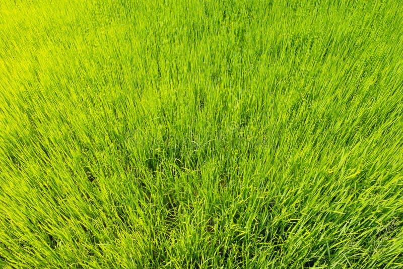Usines de riz de vue supérieure dans le domaine vert image libre de droits