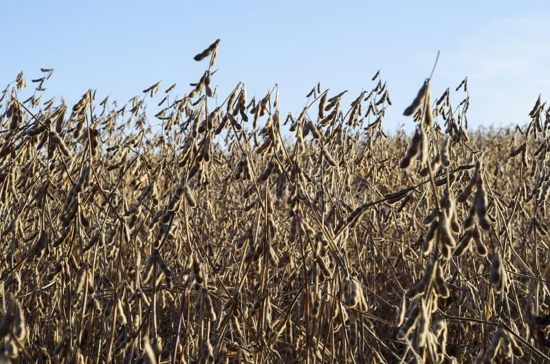 Usines de soja dans le domaine d'automne image libre de droits