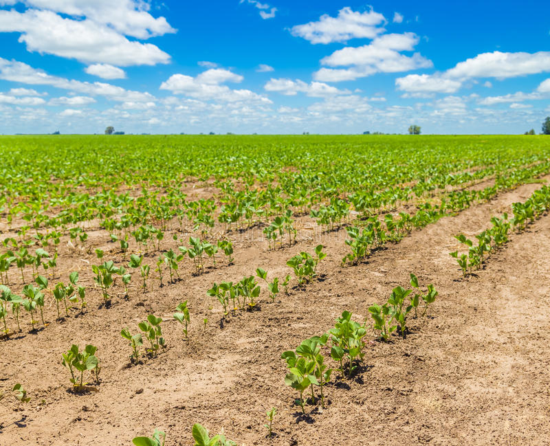 Usines de soja de germination photos stock