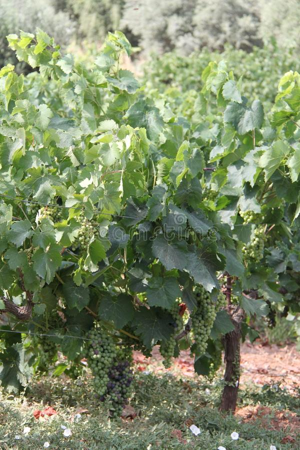 Usines de yard de vigne avec des raisins photographie stock libre de droits