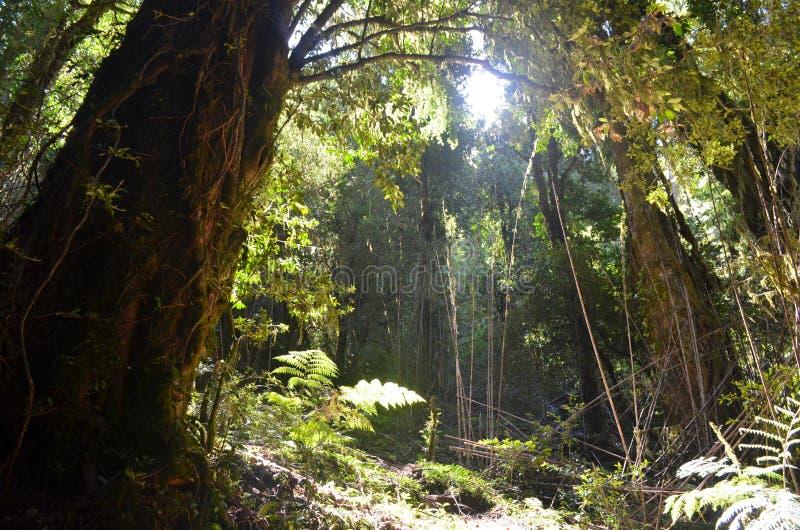 Usines des forêts tropicales tempérées de Valdivian dans le Patagonia du sud de Chilien du Chili images stock