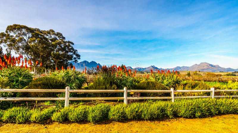 Usines fleurissantes d'aloès de Krantz dans un vignoble dans la région de vin de Stellenbosch photographie stock