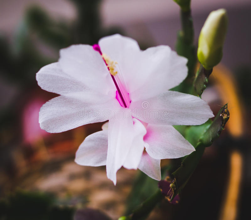 Usines fleurissantes de maison, usines d'intérieur photos stock