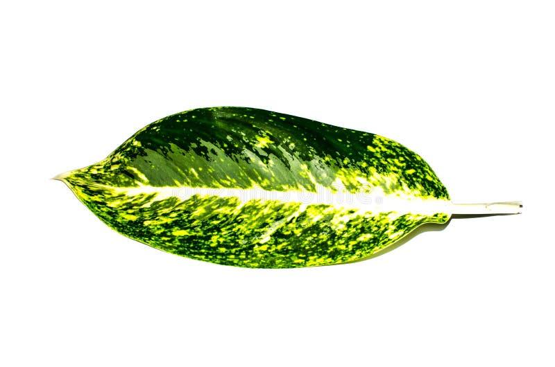 Usines fleurissantes tropicales de belle feuille simple verte de Dieffenbachia dans l'Araceae de famille d'isolement sur le fond  images libres de droits