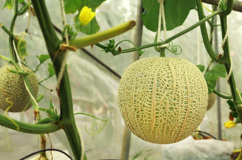 Usines fraîches de melons de cantaloup s'élevant dans la ferme de serre chaude photo libre de droits