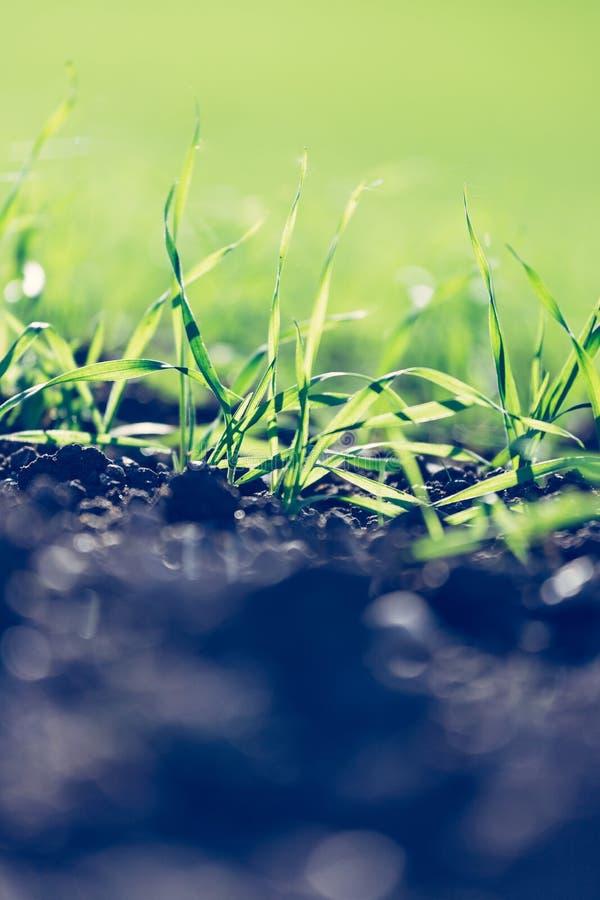 Usines fraîches, vertes et fertiles d'agriculture, herbe image stock