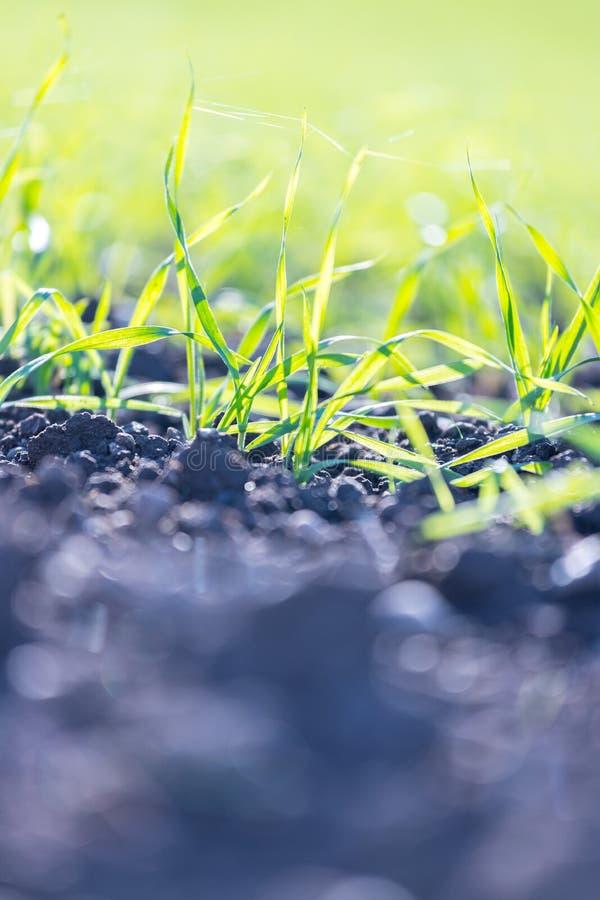 Usines fraîches, vertes et fertiles d'agriculture, herbe photos libres de droits