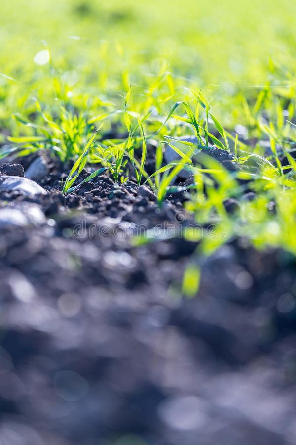 Usines fraîches, vertes et fertiles d'agriculture, herbe images libres de droits