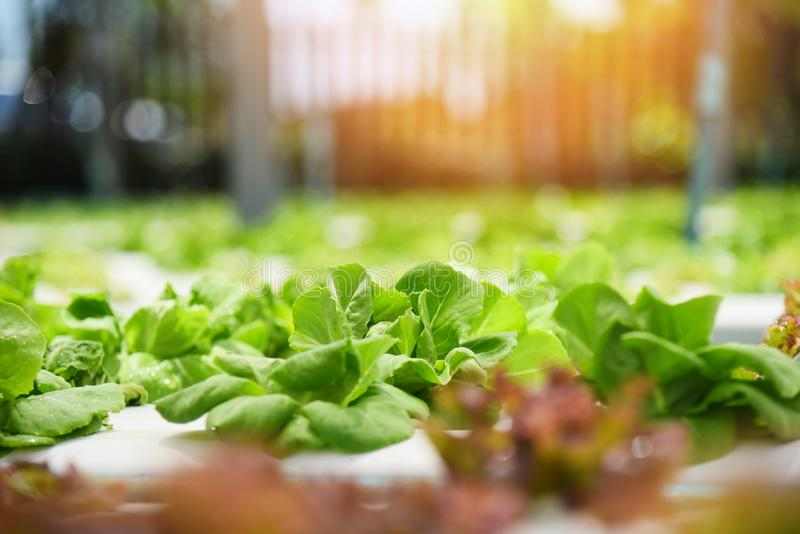 Usines hydroponiques croissantes de ferme de jardin de jeune légume de système hydroponique et de salade verte fraîche de laitue  photo libre de droits