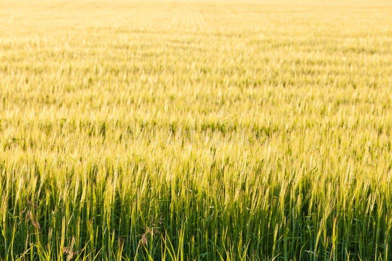 Usines mûres de blé sur le champ en soleil chaud de soirée image libre de droits