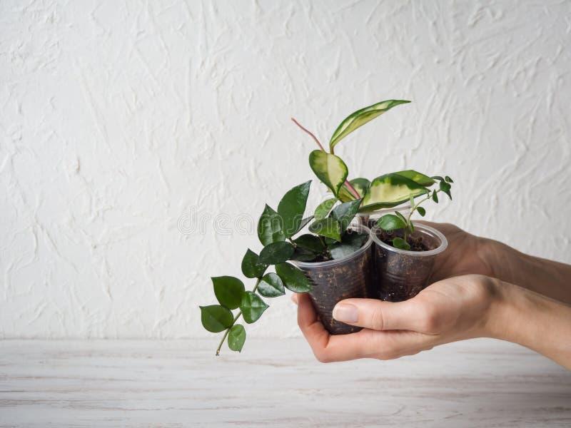 Usines mises en pot de jeunes plantes dans des ses mains images libres de droits