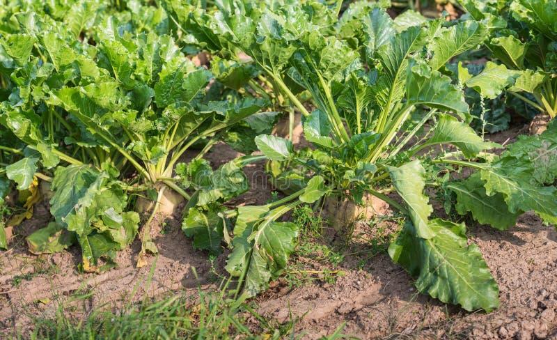 Usines organiquement cultivées de betterave à sucre de fin photographie stock libre de droits