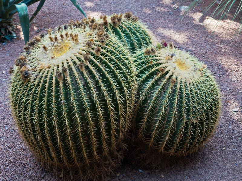 Usines rétro-éclairées de cactus au coucher du soleil, jardin de Majorelle à Marrakech, Maroc photo stock